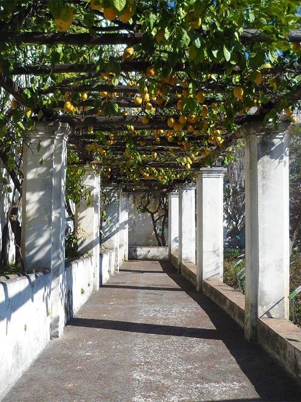 Pergolato con limoni coltivati nell'orto botanico dei Giardini della Minerva a Salerno
